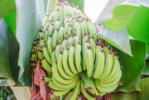 Banana Clones