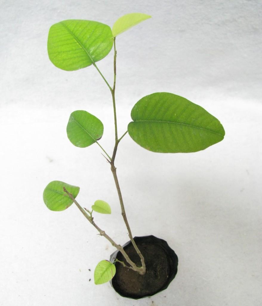 chandan plants